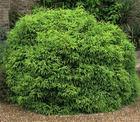 buy dwarf global japanese cedar cryptomeria japonica