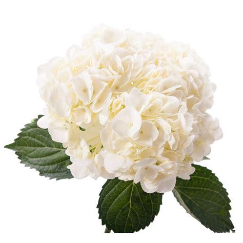 white hydrangea large hydrangea types of flowers