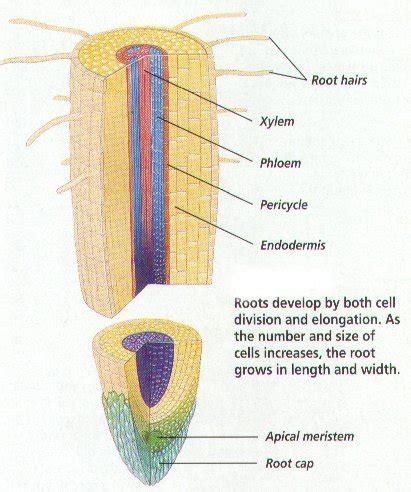root structure diagram plant structure bi