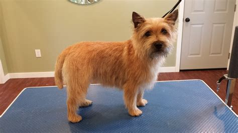is it ok to cut a cairn terrieris har short then re grow it cairn terrier breed cut cairn terrier haircut photos