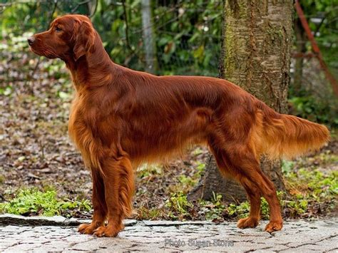 irish setter outside dog dogs breeds dog care advice straight from the experts