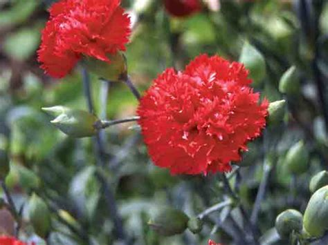 Dianthus Chabaud Orange chabaud orange sherbet carnation or dianthus baker creek heirloom seeds