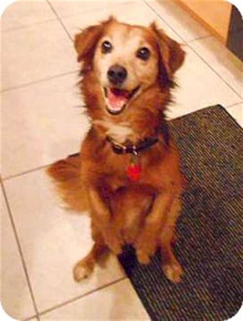 montana golden retriever rescue milo adopted d 4345 mt prospect il golden retriever dachshund mix
