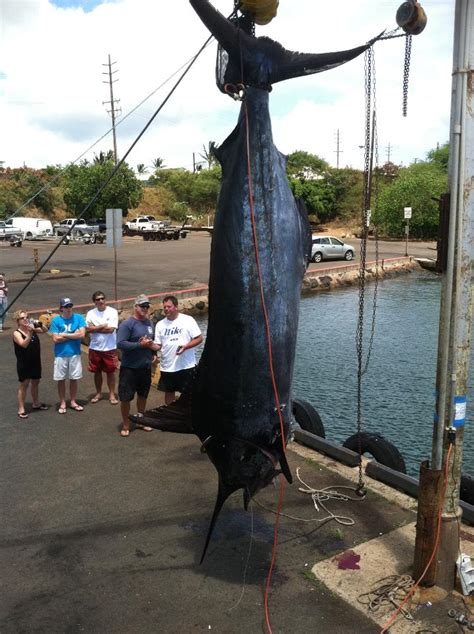 ta boat rentals with captain captain j s almost 1 000 pound marlin catch kauai surf