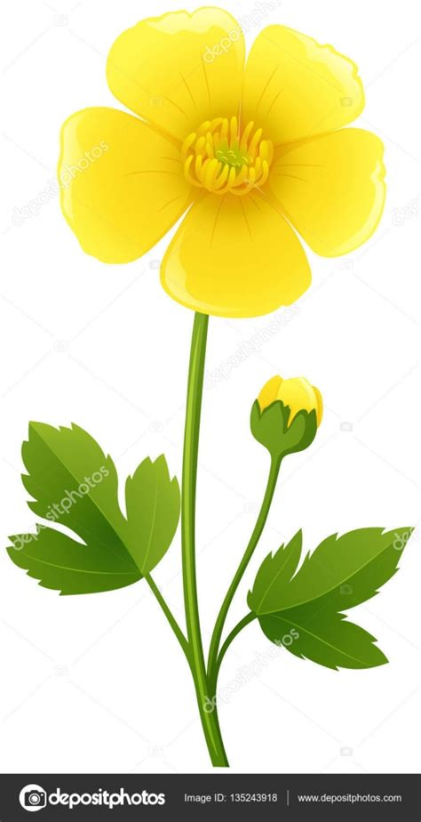 buttercup color buttercup flower in yellow color stock vector