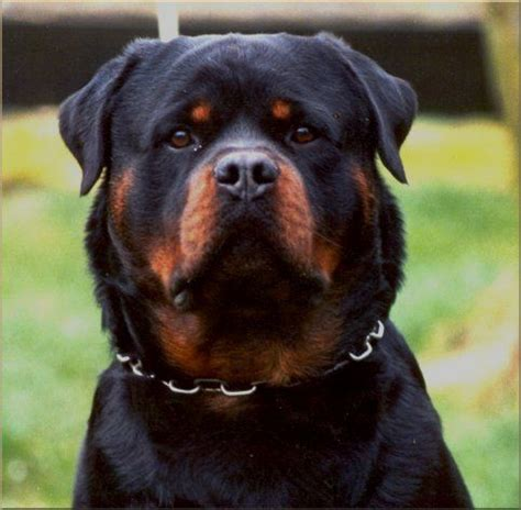 buy rottweiler from germany 25 best ideas about german rottweiler on baby rottweiler rottweiler
