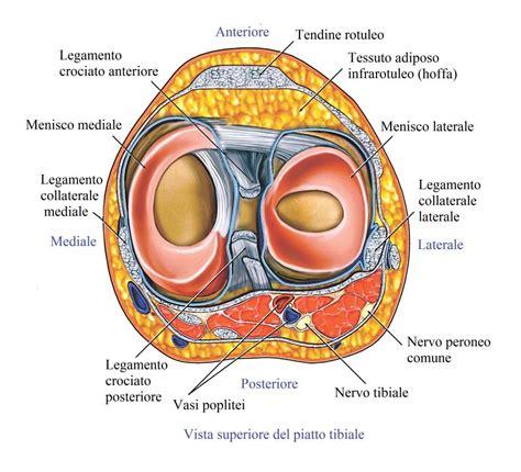 Corno Posteriore Menisco Interno by Intervento Chirurgico Al Menisco Riabilitazione E Tempi