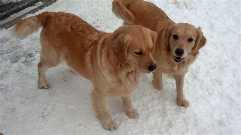 comfort golden retriever breeders gemstar golden retrievers and comfort kennel golden