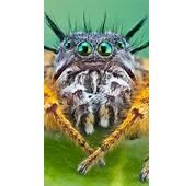 Wallpaper Bagheera Kiplingi Spider Macro Animals 4672