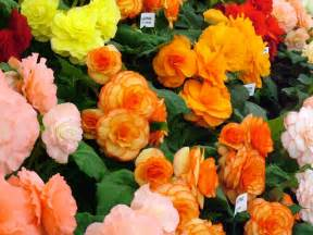 flowers for flower lovers begonia flowers pictures