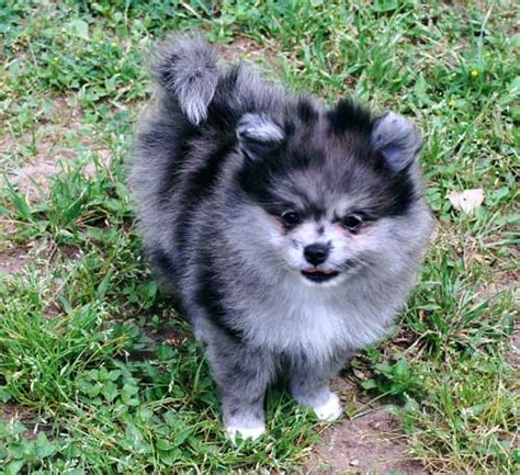 blue merle pomeranians for sale white blue merle pomeranian breeds picture