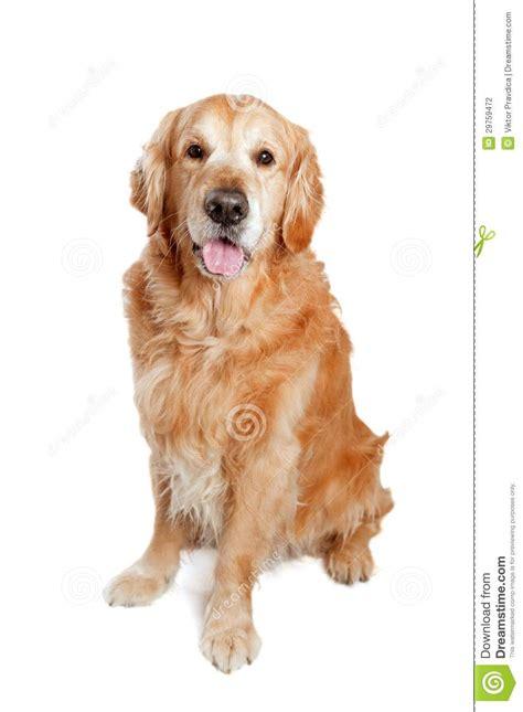 golden retriever blanco presentaci 243 n perro golden retriever fotograf 237 a de archivo imagen 29759472