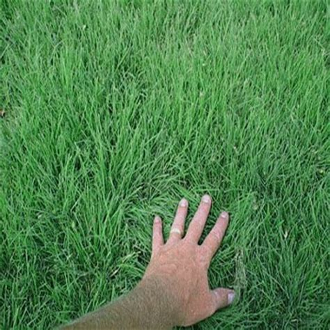 couch grass seeds for sale buffalo grass seed supreme buffalo grass seed blend