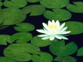 Free Lotus Free Wallpapers Lotus Flower Wallpaper Wallpaper Lotus