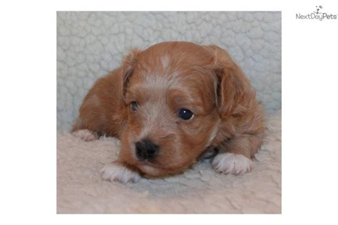 cavapoo puppies oregon puppies for sale from hill peak pups member since may 2011