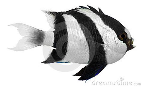 humbug damselfish royalty free stock photo image 20782005