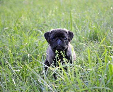 silver brindle pug 205 best images about silver apricot pug puppies on puppys brindle pug