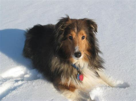 rescue ohio sheltie nation sochi northeast ohio sheltie rescue