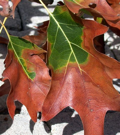 Disease Caused By Bacteria In Plants - bacterial leaf scorch bls of shade trees