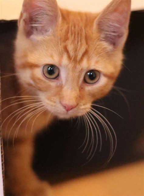 Cat Eye Original Orange orange tabby cat fascinating facts about orange cats