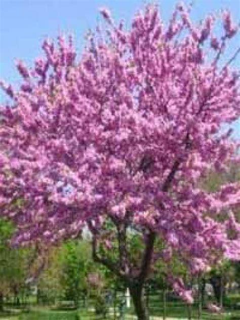 Chinesischer Blauglockenbaum Kaufen by Cercis Canadensis Amerikanischer Judasbaum Kanadischer