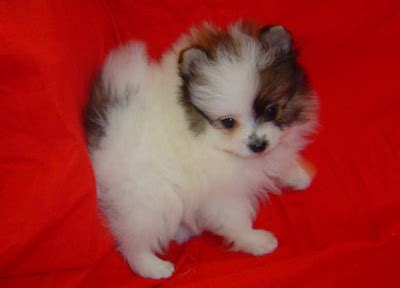 pomeranian husky puppies for sale uk white pomeranian puppies for sale uk