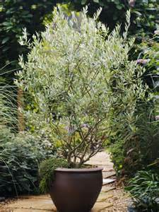 best 25 trees in pots ideas on potted trees