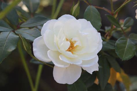 sierkers met witte bloemen trendy natuur bloesem fabriek wit bloem bloemblad roos