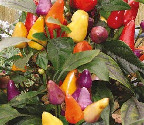 Murah Bibit Cabe Benih Cabai Pelangi Bolivian Rainbow Pepper Bell benih cabe pelangi razzamatazz