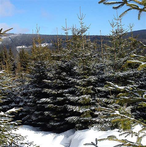 ist der weihnachtsbaum 246 kologisch korrekt livona der