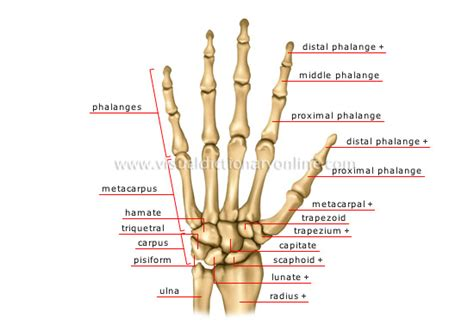 finger diagram physio health finger and anatomy and grip