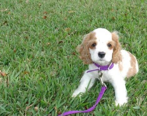Picture 7 of 8 - American Cocker Spaniel Pictures & Images ...