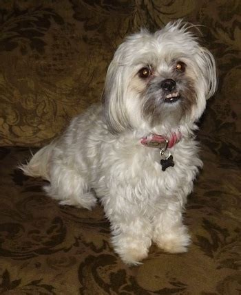 shih tzu and poodle shih poo breed information and pictures