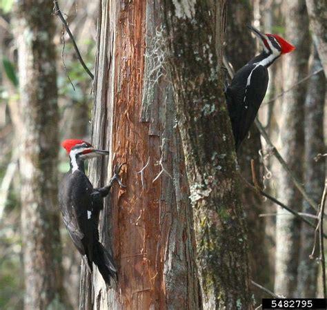 pileated woodpecker dryocopus pileatus natureworks