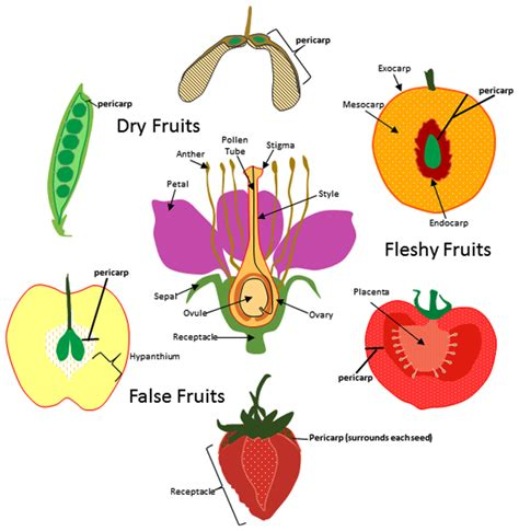 what fruit am i how fruit is developed books frontiers evolution of the fruit endocarp molecular