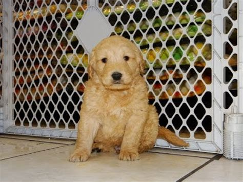 golden retriever puppies for sale ct golden retriever puppies for sale in bridgeport connecticut ct newington