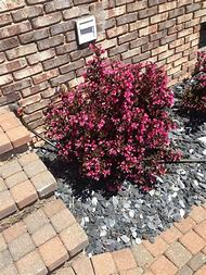 Best 25 ideas about pink flowering bushes find what youll love small pink flowering shrub identification mightylinksfo