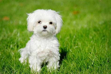 small dog breeds for apartments blogs avenue