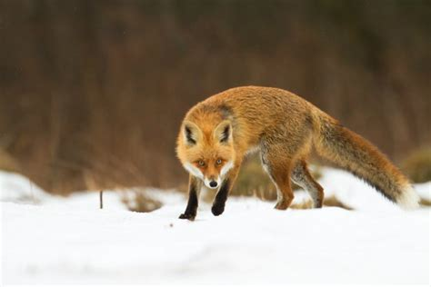 how to get rid of foxes without killing them survival
