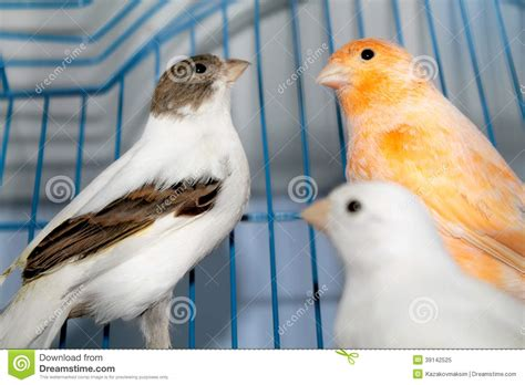 rhinelander canaries stock photo royalty different canaries stock image image of animal domestic