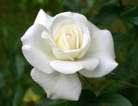 imagenes de luto rosas blancas im 225 genes de rosas blancas con frases gratis imagenes