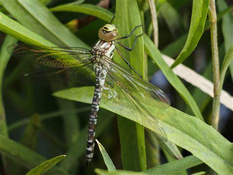 dragonfly  reed close   image  libreshot