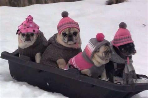 pug team pug bobsled team pugs all pugged out