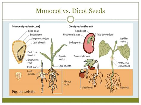 diagram of monocot seed plant 171 kaiserscience