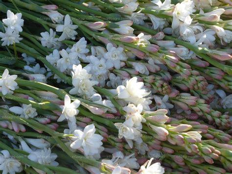 fiore di nardo foto