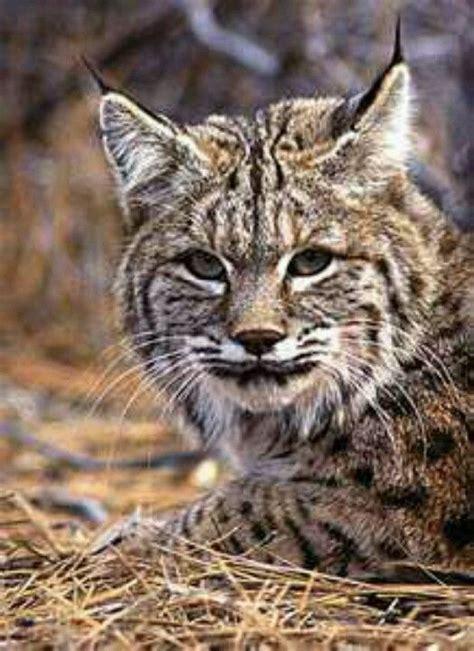 kentucky wildcat uk wildcats pinterest