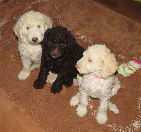 mini labradoodles washington state multigen labradoodle puppies
