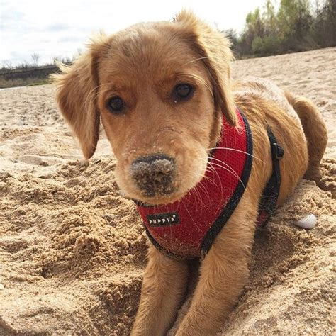 golden retriever instagram 228 best images about smile on instagram pink cake and lively