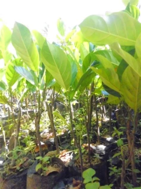 Jual Bibit Nangkadak jual bibit buah nangkadak unggul ecer tanaman nangkadak