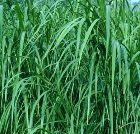 tanaman rumput gajah